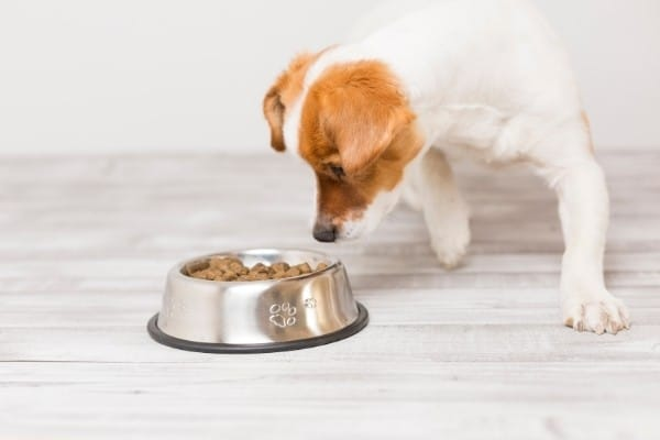 A small dog cautiously approaching a full bowl of food.