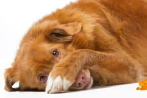 A red dog lying down with one paw covering his nose.