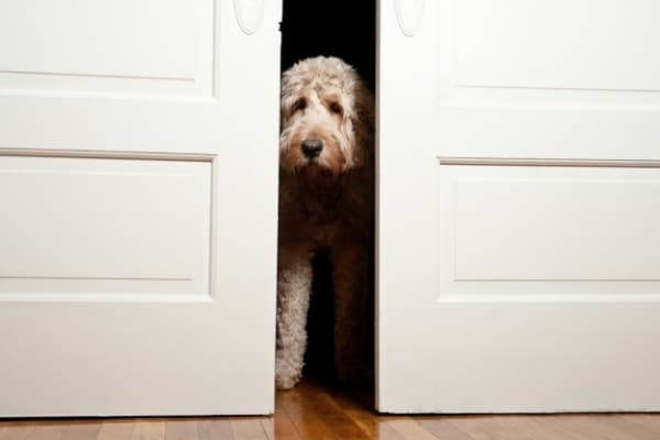 A cream-colored Doodle Dog peeking out from behind double sliding doors.