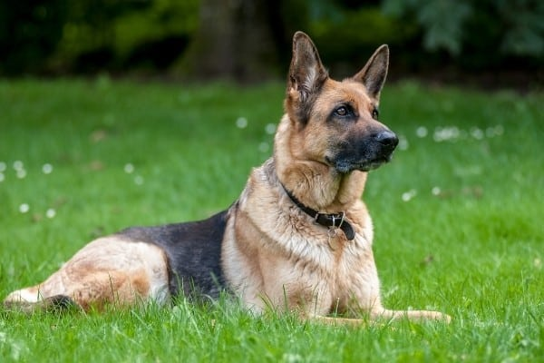 A German Shepherd relaxing on bright green grass interspersed with white flowers.