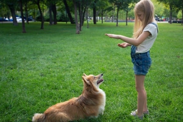 A young girl training her Cardigan Welsh Corgi in the park.