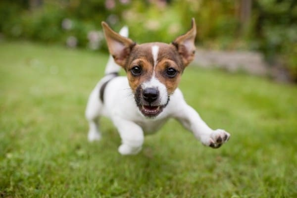 A little brown and white dog running across a lawn toward the camera.
