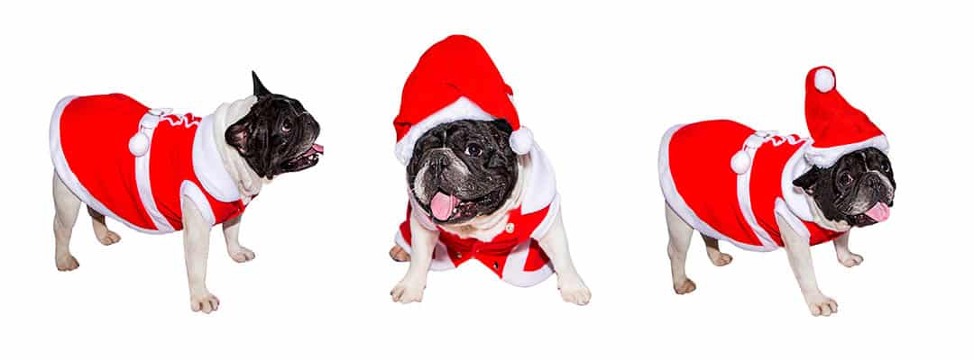 Best French Bulldog Costumes