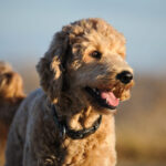 Best Shampoo for Goldendoodle