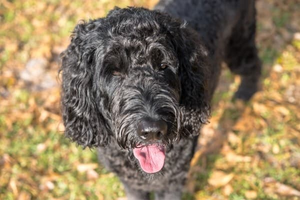 A black Labradoodle standing on a lawn littered with fallen leaves.