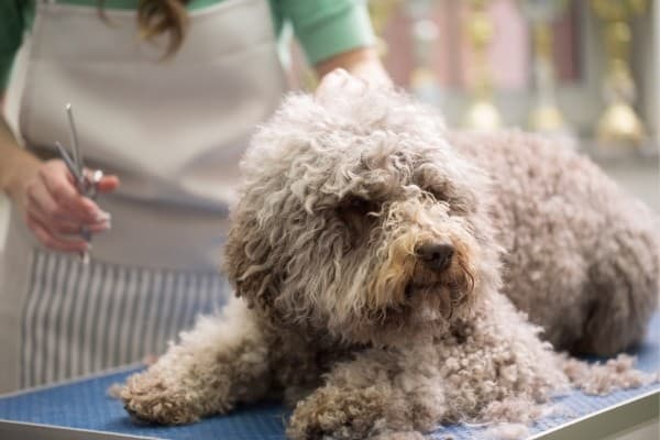 A curly-coated dog waiting on a grooming table for a trim.