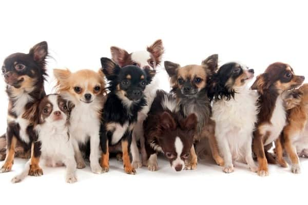 A group of 10 Chihuahuas in a variety of colors.