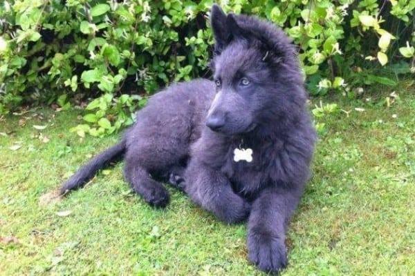 A steel blue German Shepherd puppy lying on the grass.