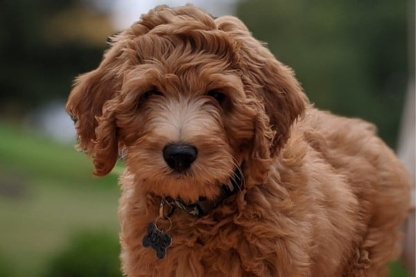 A red Irish Doodle puppy.