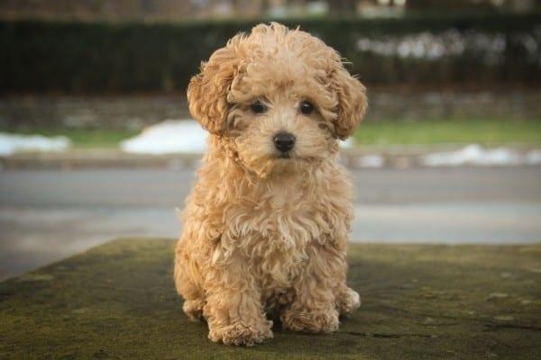An adorable apricot Poodle puppy.
