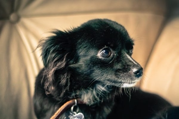 A black, long-haired Chihuahua seated on a beige couch.