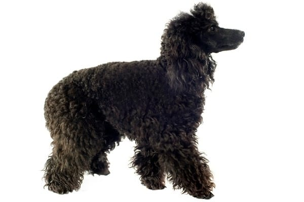 A black Poodle with shaggy hair on a white background.