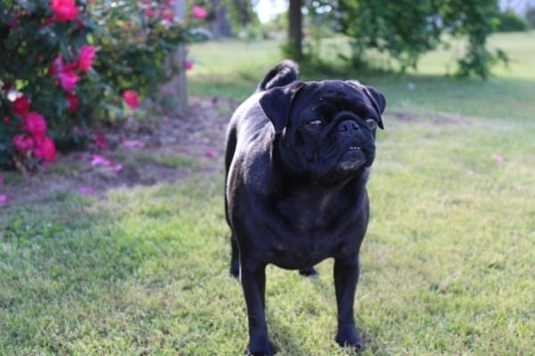 A black Pug standing outside with red roses in the background.