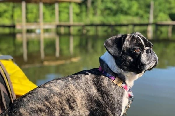 A black brindle and white Bugg sitting by a pond.