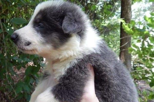 A blue panda German Shepherd puppy being held up in the air.