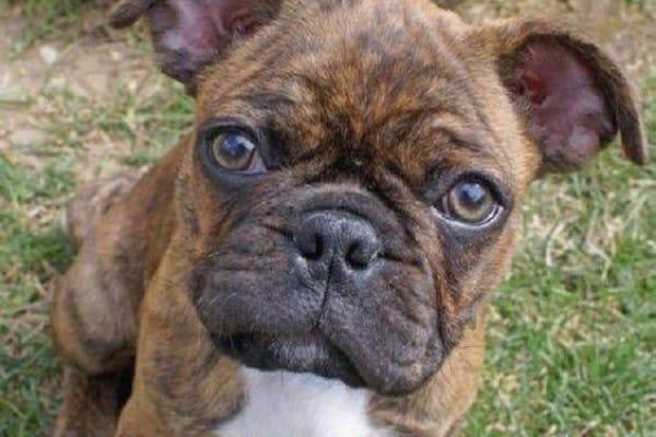 A brindle French Bulldog Pug mix.