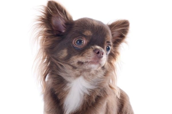 A chocolate and white Chihuahua with a white background.