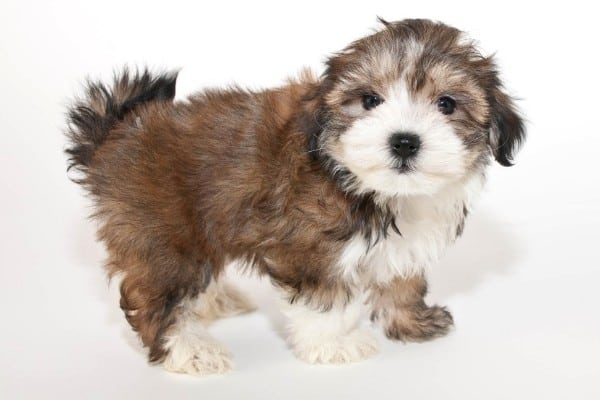 A cute brown and white Morkie Poo puppy with white background.