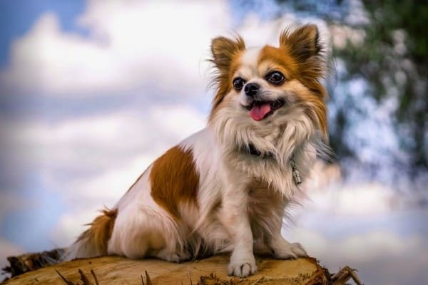 A brown and white long-haired Chihuahua sitting on a tree stump.