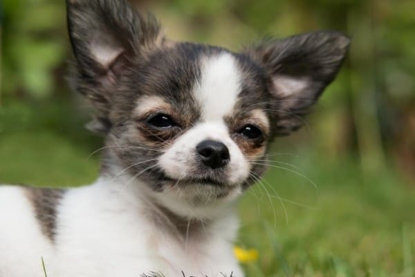 A little Chihuahua puppy grinning.