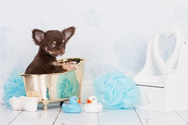 A brown and tan Chihuahua puppy sitting in a tiny tub surrounded by bath things.