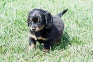 A Chihuahua-Dachshund mix puppy on the grass.
