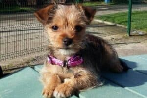 A Chihuahua-Yorkshire Terrier mix puppy with pink collar sitting outside.