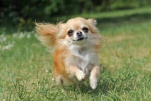 A fawn and white, long-haired Chihuahua running across a grassy lawn.