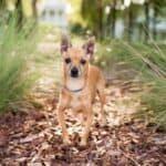 Deer Head Chihuahua - Facts, Care, & FAQ