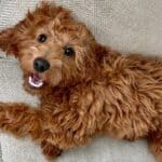 Irish Doodles – Irish Setter/Poodle Mix – Breed Guide & FAQ