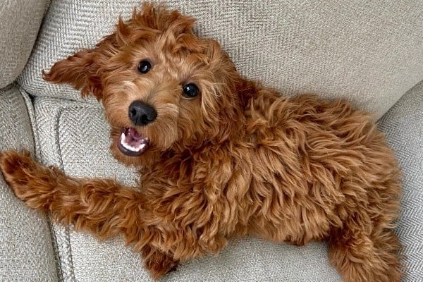 A red Irish Doodle puppy on an off-white couch.