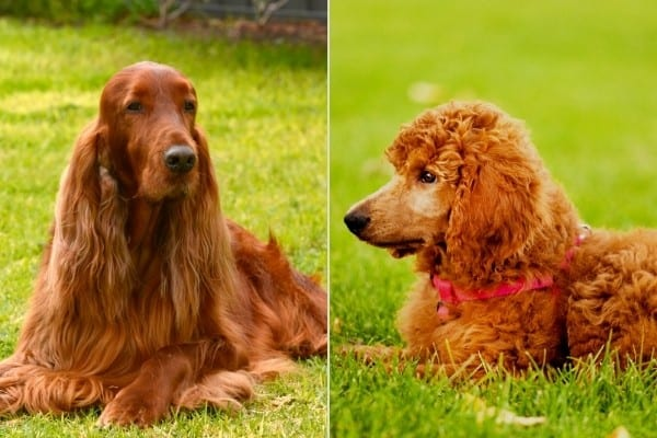 An Irish Setter on the left, and a red Poodle on the right.