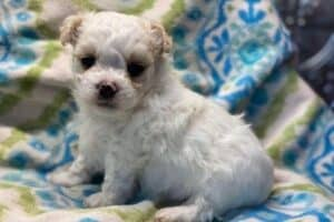 A white and brown Maltese-Chihuahua mix puppy on a blanket.