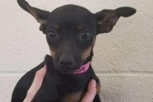 A Chihuahua Miniature Pinscher mix puppy with pink collar.