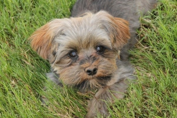 A tricolored Morkie Poo puppy lying in the grass.