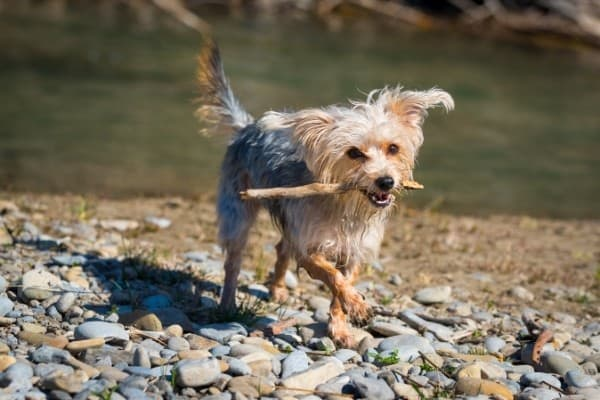 A black and tan Morkie Poo with a stick in his mouth on the rocky shore of a lake.