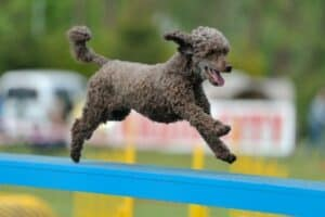 A silver Moyen Poodle dashing across a horizontal beam on an agility course.