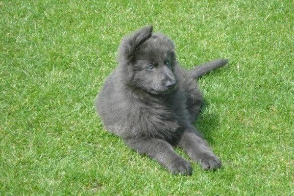 A powder blue long-hair German Shepherd puppy lying on the grass.