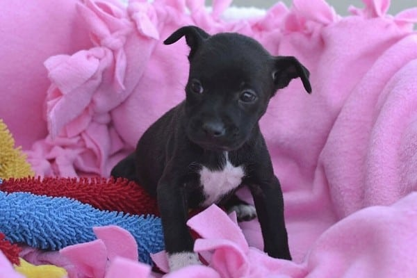 A black Chug puppy on a pink blanket.