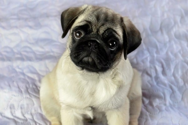 A Pug puppy sitting on a white quilt.