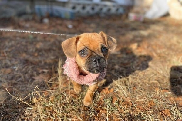 A Puggle puppy walking while on a leash outside.