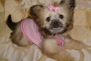 A Shih Tzu-Chihauhua mix puppy with pink sweater and bow.