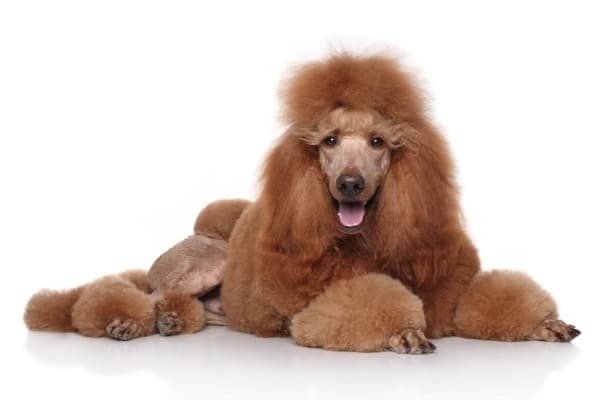 A standard red Poodle in Continental cut.