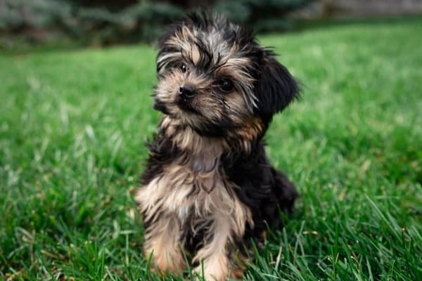 A black, tan, and white Morkie Poo puppy sitting on a green lawn.