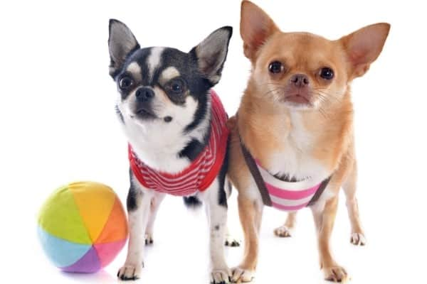 Two Chihuahuas and a small beach ball on a white background.