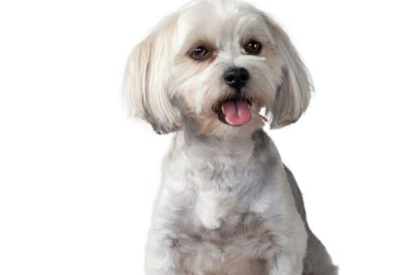 A white Morkie Poo with a teddy bear haircut on a white background.