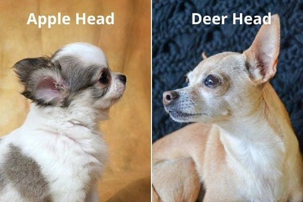 Apple head Chihuahua puppy on left, deer head Chihuahua on right.