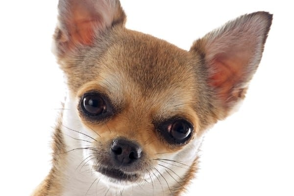 A close-up image of a black sabled fawn Chihuahua's head.