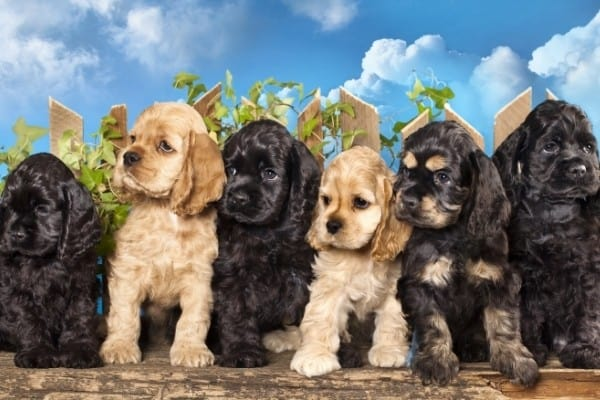 Three black, two buff, and one black and tan Cocker Spaniel puppies sitting in a row in front of a small fence.