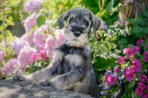 A salt-and-pepper Schnauzer puppy with his front feet up on a large rock and pink flowers in the background.